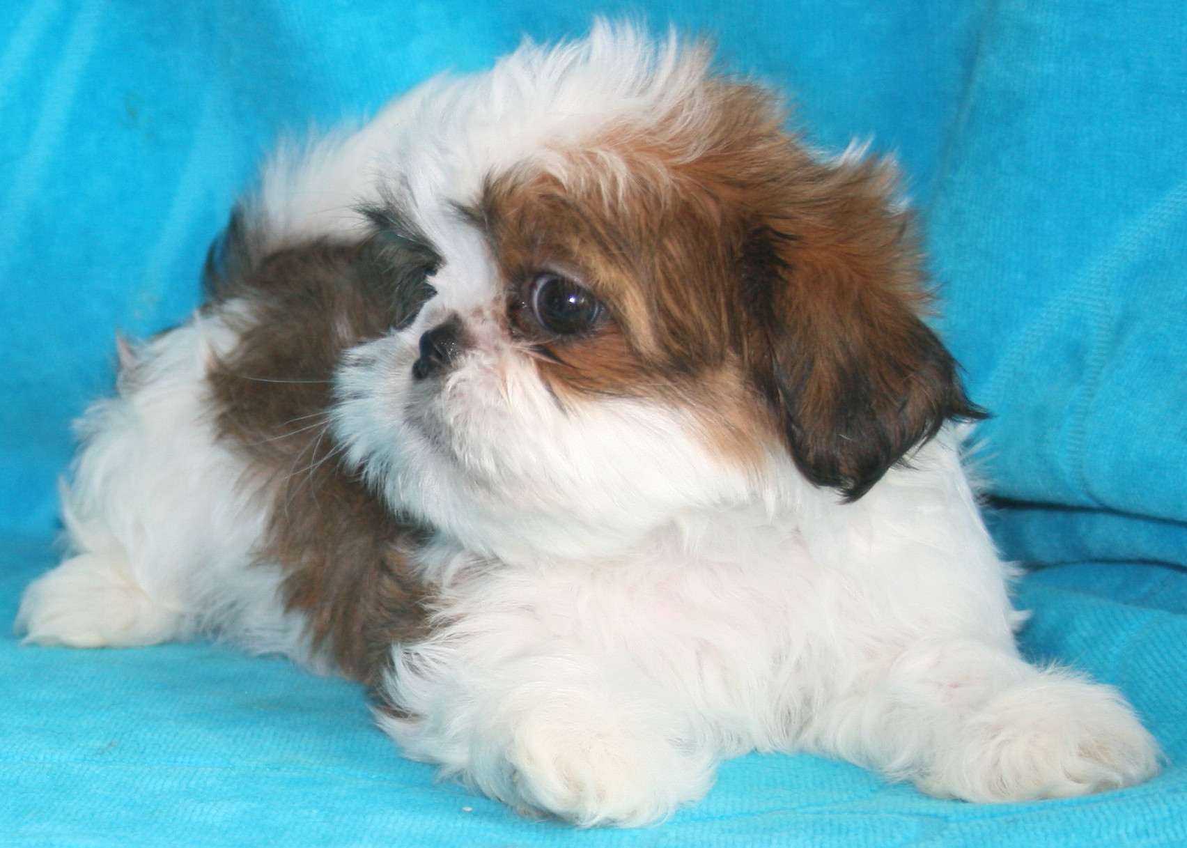 ShihPoo puppies for sale! These lovable ShihPoo puppies are a designer dog breed recognized by the ACHC They are a cross between a Shih Tzu and a Poodle