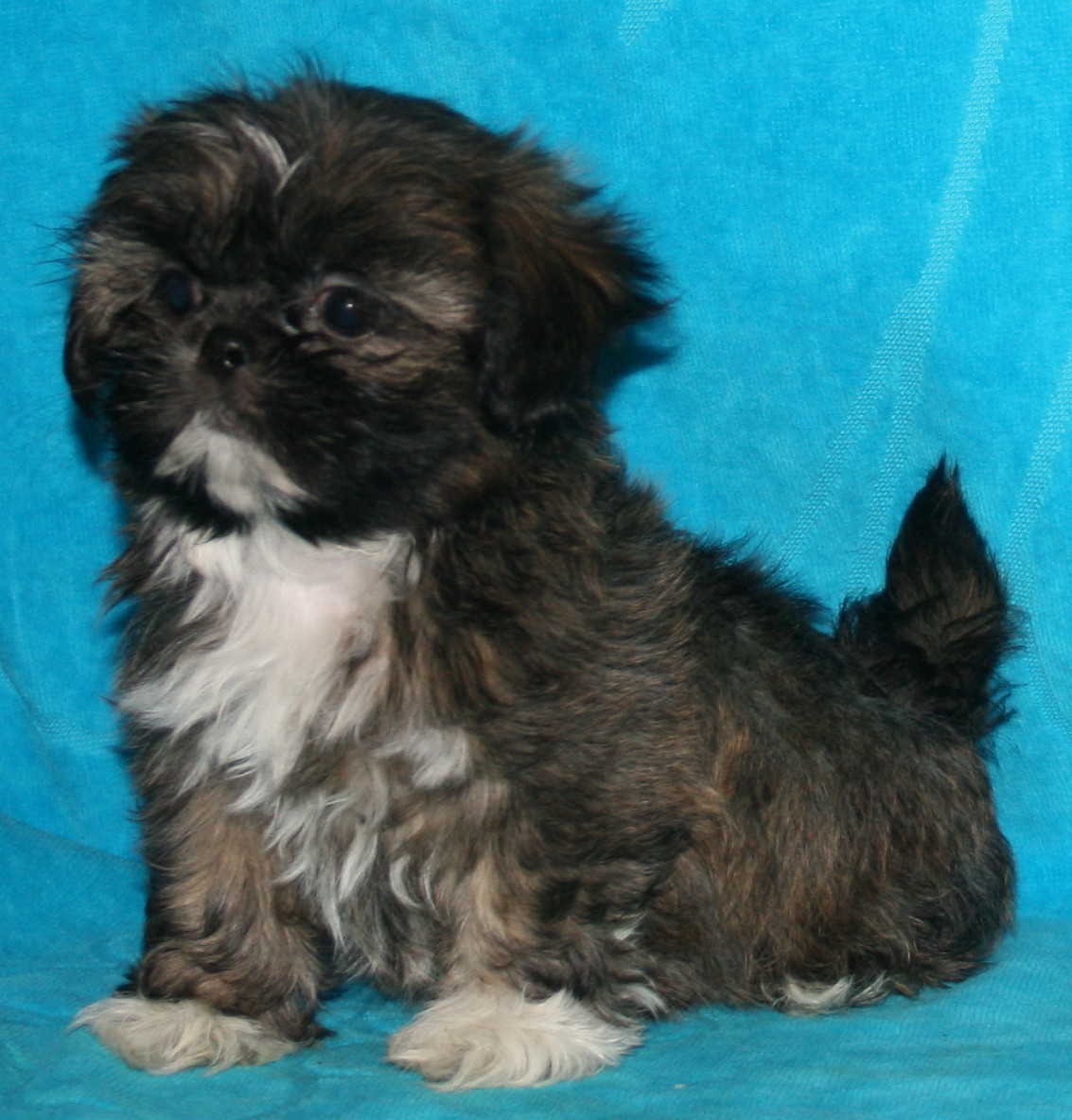 Nursery Indiana Shih Tzu Puppies For Sale In Akc Shih Tzu